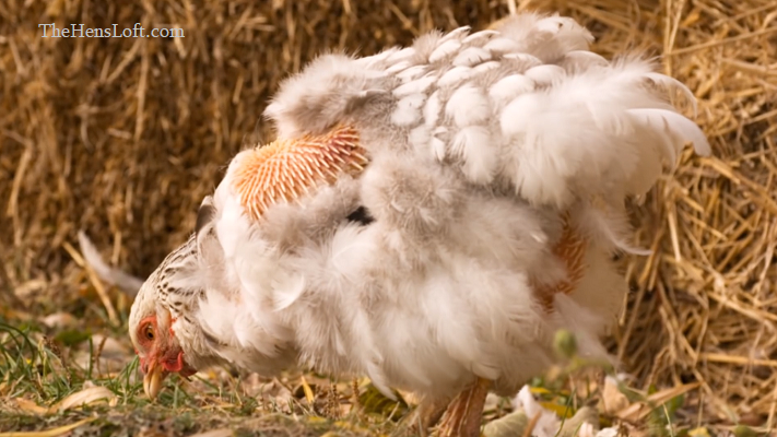 white chicken molting