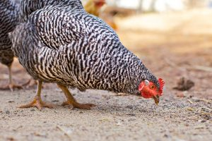 barred rock chicken pecking feed off ground