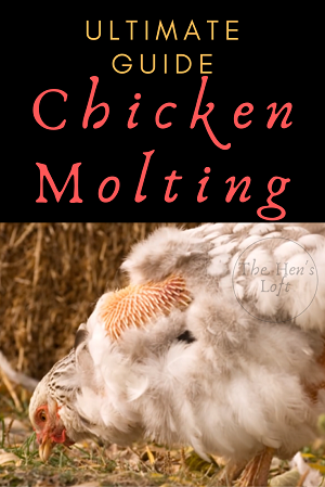 molting chicken pecking at ground