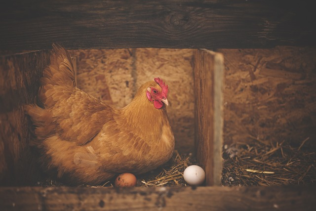chicken laying eggs in nesting box