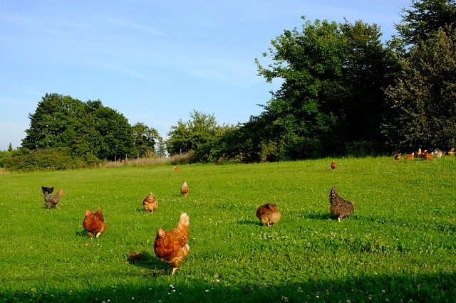 chickens free range in grass field