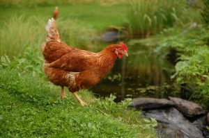 chicken standing next to water stream