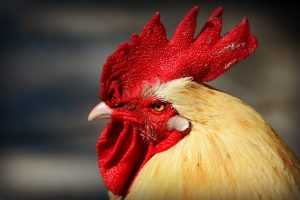 white rooster with deep red comb
