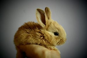 baby rabbit held in a human hand
