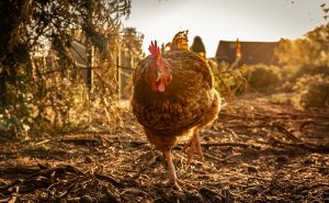 free range chicken benefits