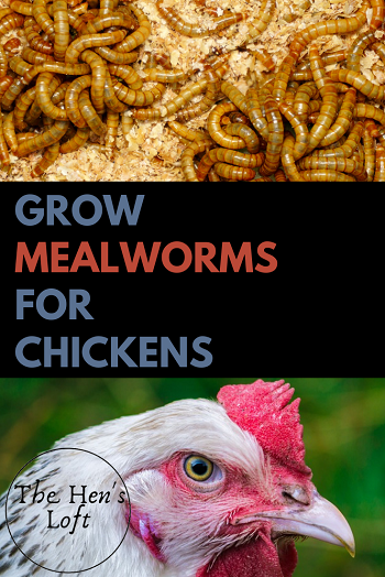 raise mealworms at home