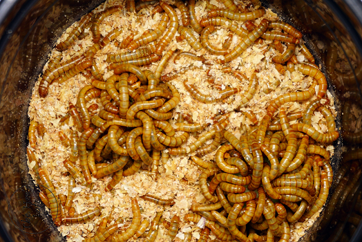 grow your own mealworms