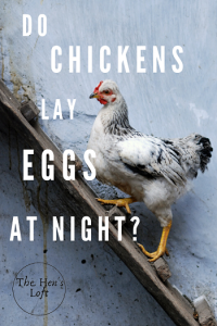 do chickens lay eggs at night