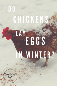 do chickens lay eggs in winter