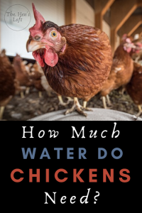how much to water chickens