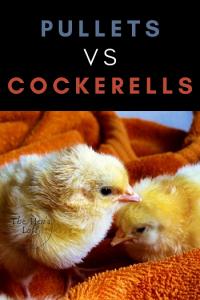 pullets vs cockerells