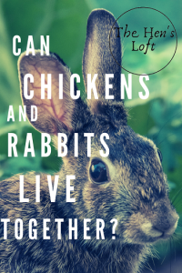 can chickens live with rabbits