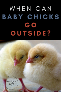 when can baby chicks go outside