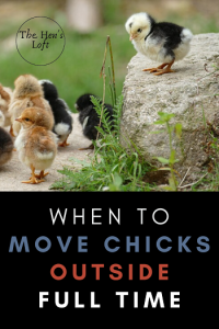 when to move baby chicks outside