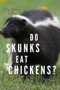 do skunks eat chickens and eggs
