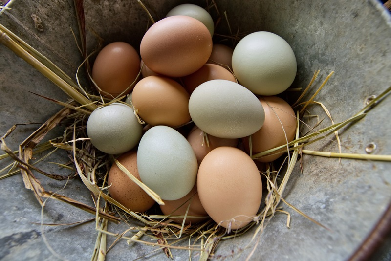 why are some chicken eggs blue