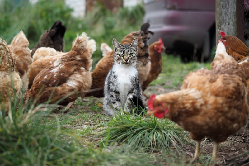 cats and chickens living together