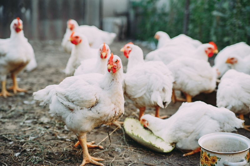 best chicken feed for broiler meat birds