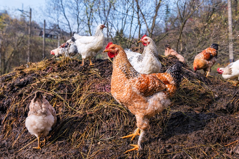 How to make compost from chicken manure