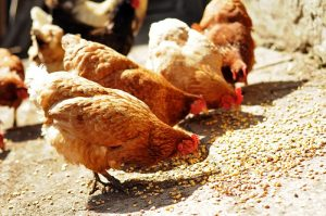 different types of chicken feed