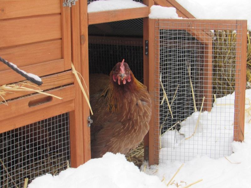 aging chicken in hen house