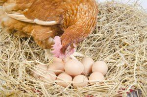 chicken pecking at eggs in nest