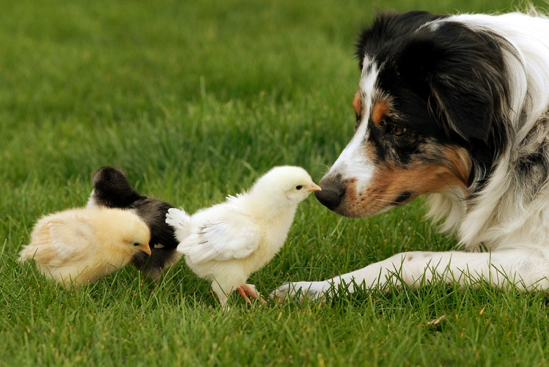 dog breeds that get along with chickens