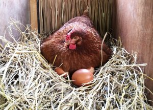 hen laying on eggs in nest