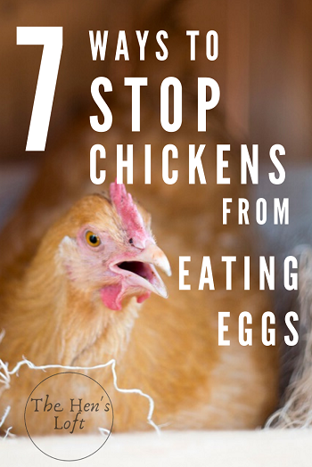 prevent chickens from eating eggs