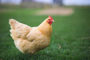 buff orpington chicken