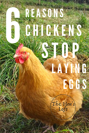 how to start laying eggs