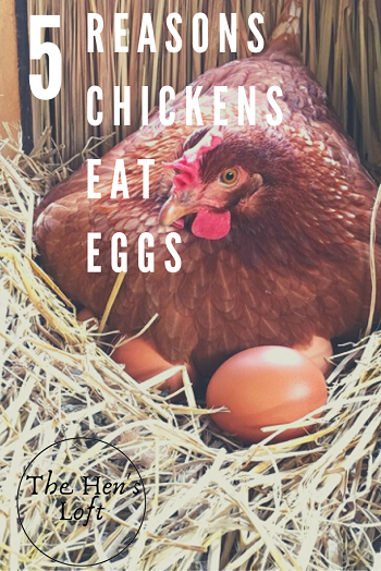 tips for preventing hens from eating eggs
