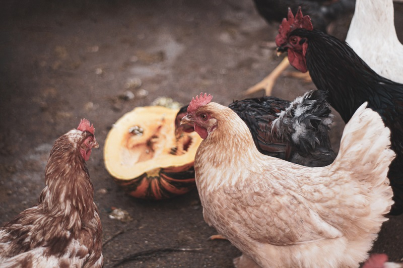 chickens eating pumpkin on ground