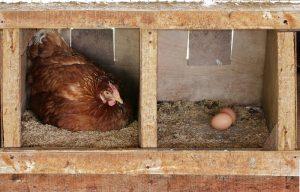 how many chickens per nesting box