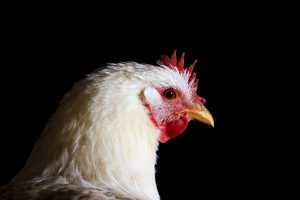 how much cost to raise chickens for eggs and meat
