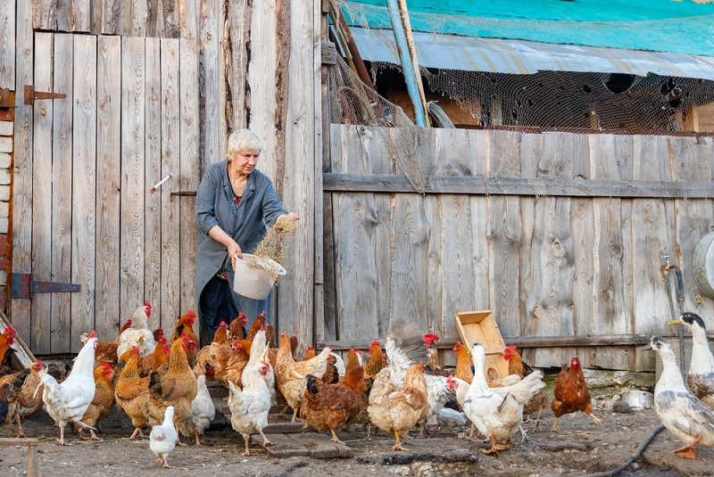 woman feeding flock of chickens