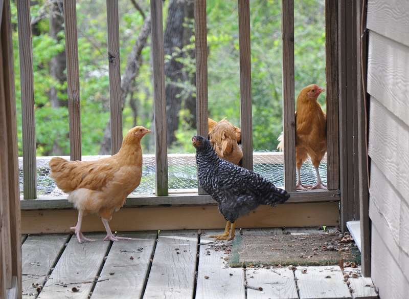 chickens eating pet food on front porch