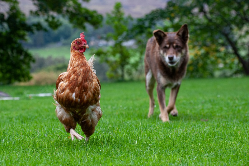 how to prevent dogs from killing chickens
