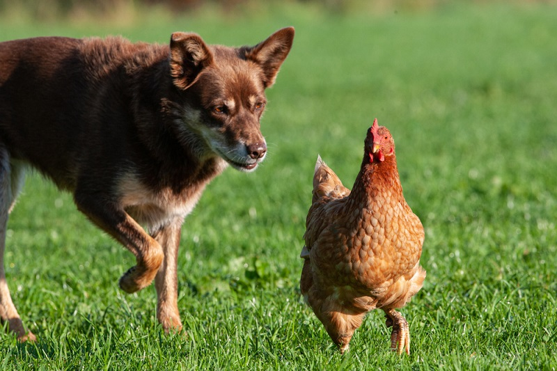 dog chasing chicken