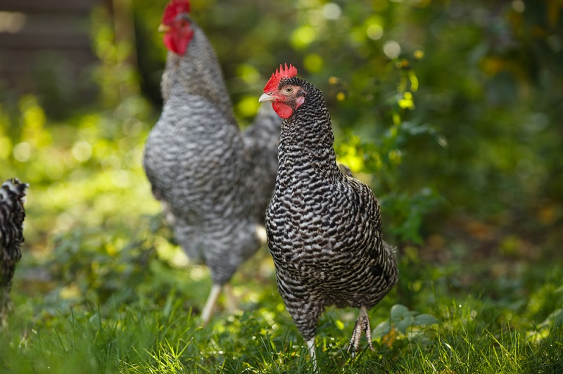 plymouth rock chicken health issues
