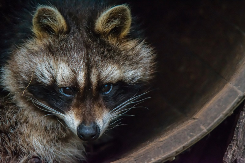 raccoons will kill chickens and not eat them