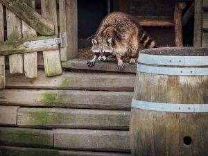 raccoon in chicken coop
