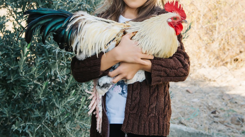 rooster being held at a shelter