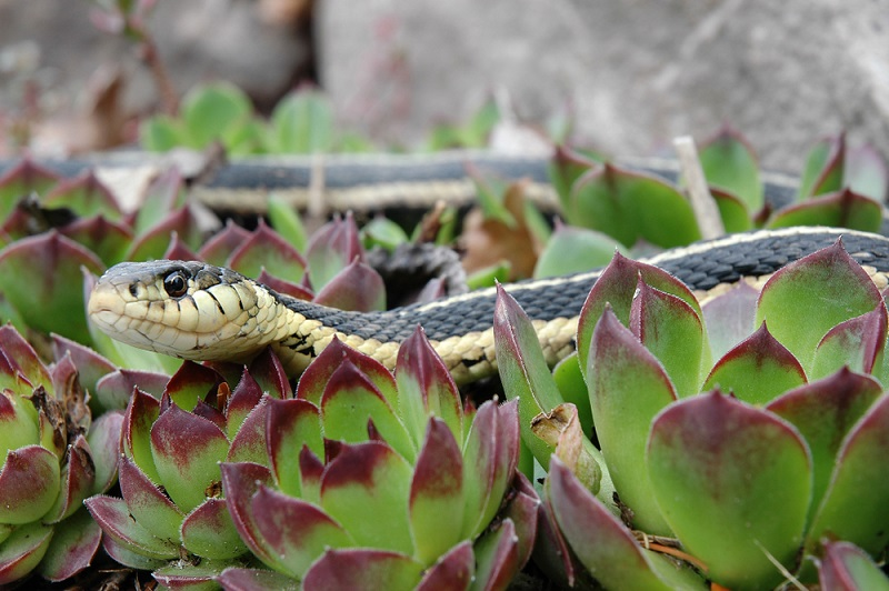 snake slithering in the garden outside a chicken coop