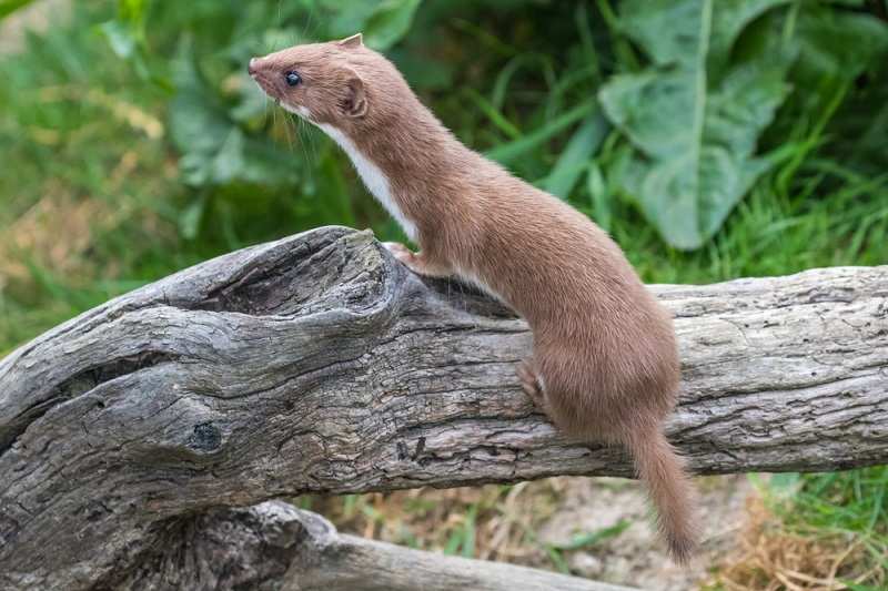 weasels are known for killing chickens