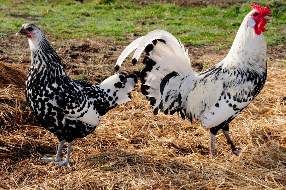 Ancona chickens lay white eggs