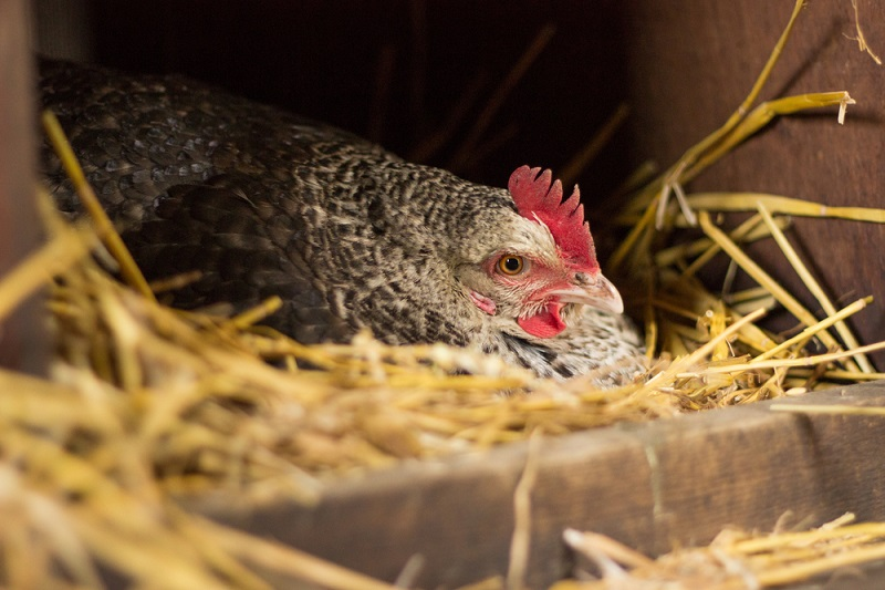 how to tell if a hen is broody