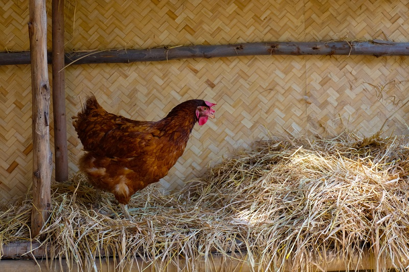 rhode island red making a nest in the hay in a barn