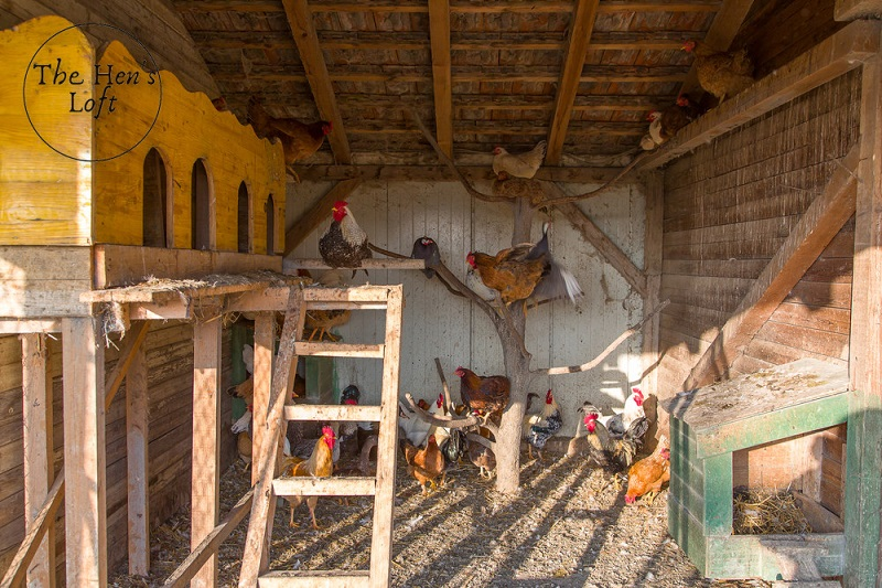 chickens roosting on a natural roost in a chicken coop