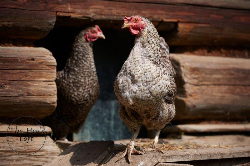 what to put in a chicken coop